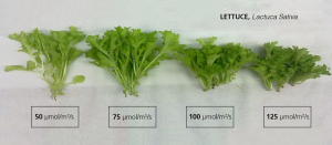 Lettuce-light-intensity-experiment-AP67-spectrum-300x131