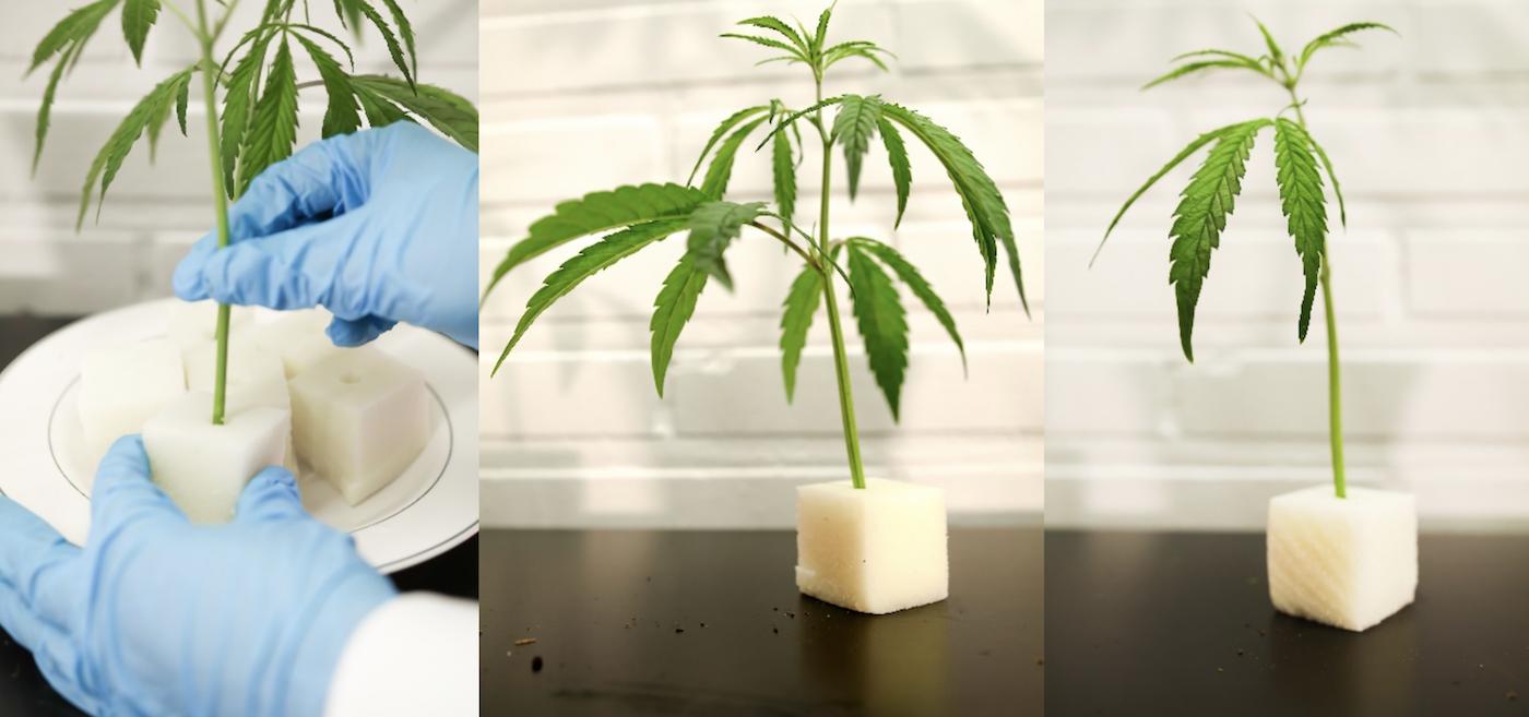 Rooting Male Female Hemp Cannabis Plants
